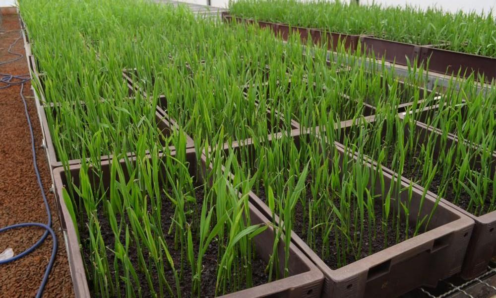 Secretaria entrega primeiro pacote de pré-brotado IAC de cultivares de cana  na Agrishow 2017 bb263cfe17d