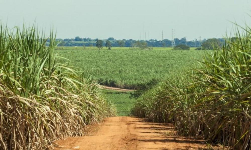 Uso de bactérias e material orgânico pode aumentar a produtividade da cana-de-açúcar