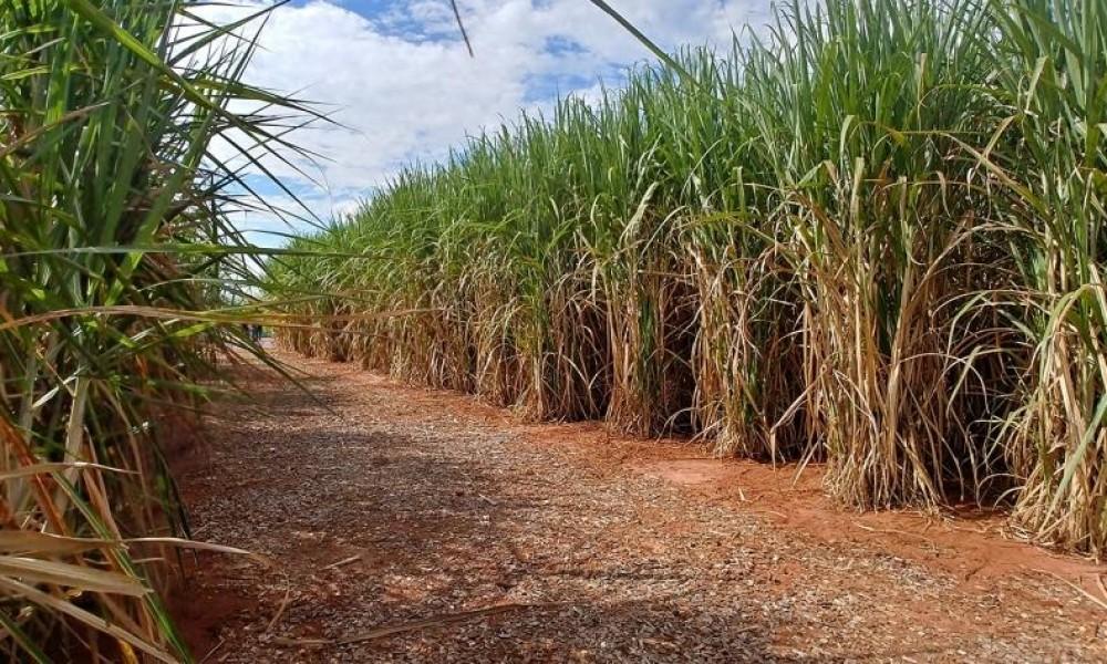 Uso de fungicida pode aumentar produtividade do canavial entre 10 e 20 toneladas por hectare. Mas não é qualquer fungicida