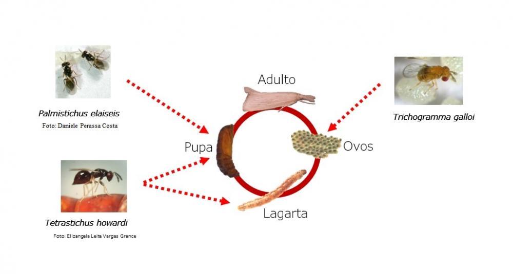 As vantagens do parasitoide Tetrastichus howardi em comparação à Cotésia flavipes no controle da broca-da-cana